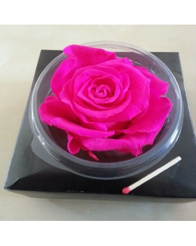 Rose fuschia éternelle