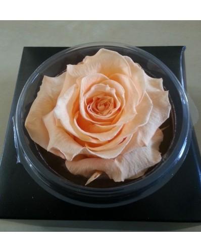 Rose éternelle saumon