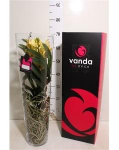 Orchidée jaune vanda en vase