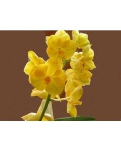 Orchidée jaune vanda en vase 70cm