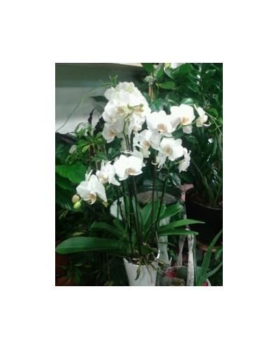 Orchidée phalaénopsis blanc