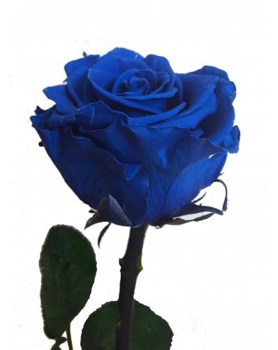Rose bleue éternelle