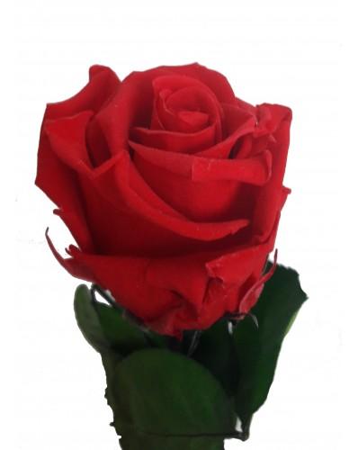 belle rose rouge préservée