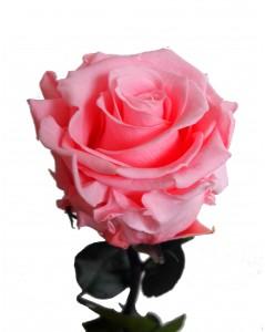 rose éternelle couleur rose